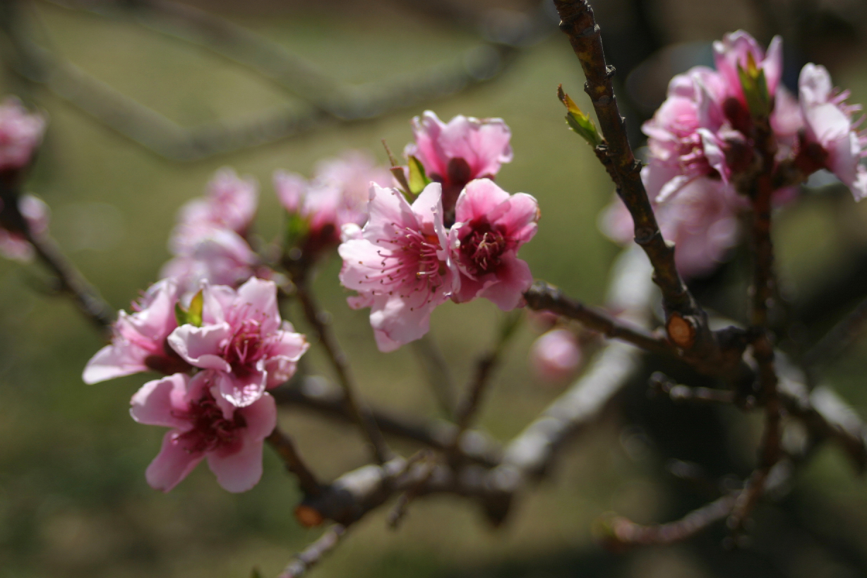 Peach Blossoms 1