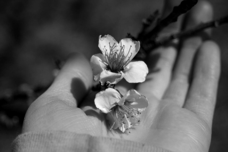 Peach Blossoms 10