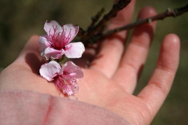 Peach Blossoms 12