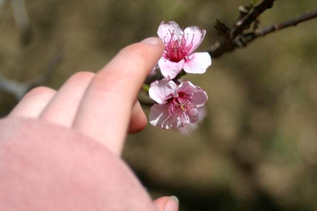 Peach Blossoms 13