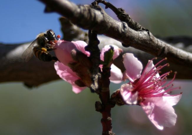 _Peach Blossoms 2