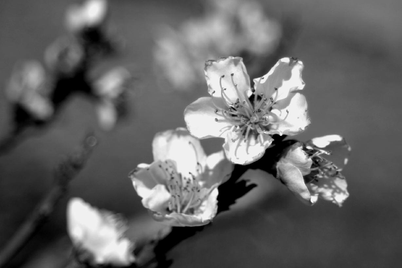 Peach Blossoms 5