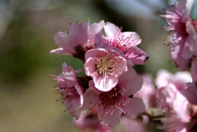 Peach Blossoms 8