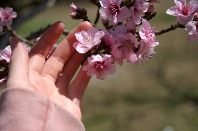 Peach Blossoms 9